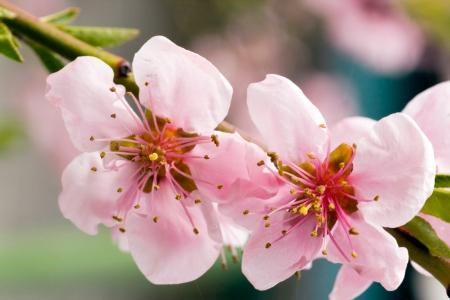 Closeup of peach blossom